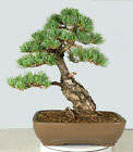 Imported Japanese White Pine Bonsai Tree