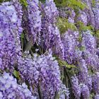 Chinese Blue Wisteria Tree 4 Pot Live Plant Garden Home Indoor Outdoor Yard