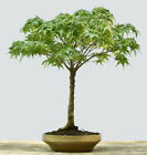 Japanese Maple Bonsai Sharps Pygmy