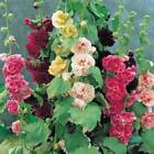HOLLYHOCK PINK RED  YELLOW 25+ SEEDS ORGANIC HEIRLOOMBEAUTIFUL TALL CLUSTERS