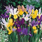 Iris, Bulb (10 Pack) Dutch Mix, Perennial Iris Bulbs, Flowers