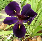 Louisiana Black Gamecock Iris Water Bog Soil Gorgeous Healthy One Bulb/Corm