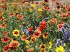Dry Area Wildflower Mix Seed Packet to 2LB FREE SHIP Arid Land Xeriscape Easy 1