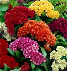 Celosia Crested Cockscomb Mix 500 seeds  Cut Flower  easy grow  CombSH A74