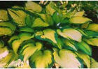 Buy 2 get 1 free Hosta-Green & Gold 50+ seed Perennial great for borders
