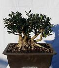 Shohin European Olive Skylark Dwarf Bonsai Tree