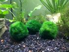 B-Grade Giant Marimo Moss Balls (Our Cheapest Marimo) 2 to 3 inches