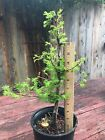 Dawn Redwood Fossil Tree Pre Bonsai Fat Taper Trunk Fern like Foliage Peely Bark