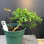 Bonsai Kingsville Boxwood Pre Bonsai Tree 7 Years Old Great Mame shohin Material