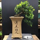 Bonsai Kingsville Boxwood Tree Mame Size 12 Years High Quality Chinese Pot