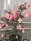 Bonsai Japanese Azalea Nasuno Import