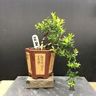 Bonsai Kingsville Boxwood Tree Mame Size 12 Years Old 55 Base Top Chinese Pot