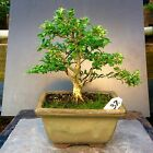 Bonsai Kingsville Boxwood Tree Shohin Size 12 Years Old 8 Base Top Japanese Pot