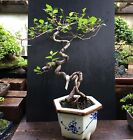 Bonsai Chinese Elm 7 Years Training From Root CuttingVintage Japanese Container