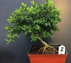 Bonsai Kingsville Boxwood Pre Bonsai Tree 8 Years Old Great Mame shohin Material