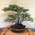 Bonsai Chinese Elm 15 Years Training From A Root Cuttings Signed Pot