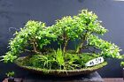 Bonsai Kingsville Boxwood Trees 10 12 Years Forest Group Hand Made Slab