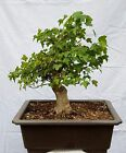 Japanese Trident Maple Bonsai Tree