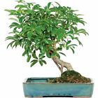 Hawaiian Umbrella Bonsai Tree In Water Pot