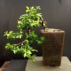 Bonsai Kingsville Boxwood Tree Cascade Mame 6 Years Old 6 1 4 Base trees Top