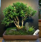 Bonsai Kingsville Boxwood Tree Saikei Forest Style 12 Years 6 Soil Top