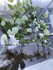 4 Wild Raspberry Bush shrub LIVE Bare root 10 Fruit