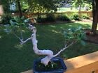 Tiger Bark Ficus Bonsai Tree NO RESERVE One Cent Opening