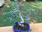 Elm Bonsai Tree 12 from top of Pot NO RESERVE OPENING ONE CENT