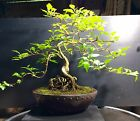Bonsai Musk Maple Tree Premna Microphyllia Japonica 9 Years From A Cutting
