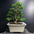 Bonsai Kingsville Boxwood Tree Cascade Shohin 9 Years Old 7 1 4 Base trees Top