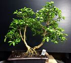 Bonsai Kingsville Boxwood Pre Bonsai Pre Styled Tree 12 Years Old Ready To Pot