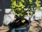 Bonsai Tree Gingko