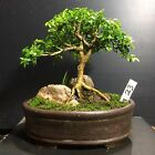 Bonsai Tree Kingsville Boxwood 10 Years Old Mame 65 Tall Signed Container