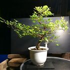 Bonsai Chinese Elm 8 Years Training From Root Cutting Classic Chinese Container