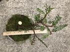 Coast Redwood Trees Pre Bonsai Root over Rock Low Profile Windswept Shallow