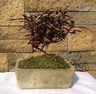 Japanese Bonsai Tree Red Thread Alternate Athena Great Gift