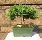 Japanese Bonsai Juniper Dwarf Tree Great Gift Garden Plant