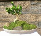 Japanese Bonsai Tree Boxwood Morris Midget Boxus 15 20 Years Old