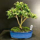 Bonsai Tree Kingsville Boxwood 6 Years Old 5 3 4 Tall True Mame Japanese Pot