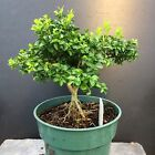Bonsai Tree Kingsville Boxwood Pre Bonsai 7 Years Old Ready To Pot Up As Bonsai