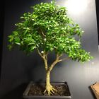 Bonsai Tree Kingsville Boxwood Pre Bonsai 15 Years Old Ready To Pot Up As Bonsai