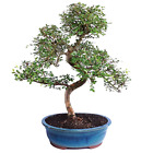 Bonsai Chinese Elm Tree Ulmus Parvifolia Outdoor Indoor Patio Lawn Garden Decor