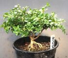 Bonsai Kingsville Boxwood Pre Bonsai Tree 8 Years Old Ready To Pot As Bonsai