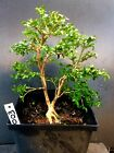 Bonsai Kingsville Boxwood Pre Bonsai Tree 10 Years Old Ready To Pot As Bonsai