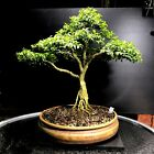 Bonsai Tree Kingsville Boxwood Bonsai 30 Years From A Cutting American Container