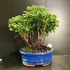 Bonsai Tree Tsukumo Cypress Mame Size 4 Years From Cutting Japanese Pot