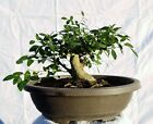 Shohin Yaupon Holly Bonsai Tree