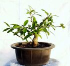 Shohin Holly Tanager Bonsai Tree