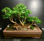 Bonsai Tree Kingsville Boxwood Saikei Forest 2 12 Years19 7 8 Japanese pot