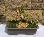 Japanese Bonsai Tree Dwarf Coleus Forest Scape Great Gift